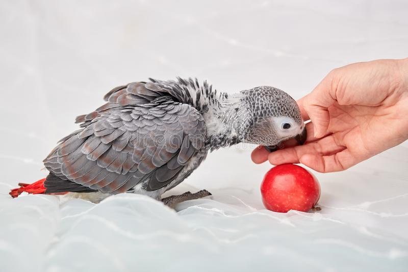 Polluelo manual Jaco a la edad de tres meses que presentan y que juegan foto de archivo libre de regalías