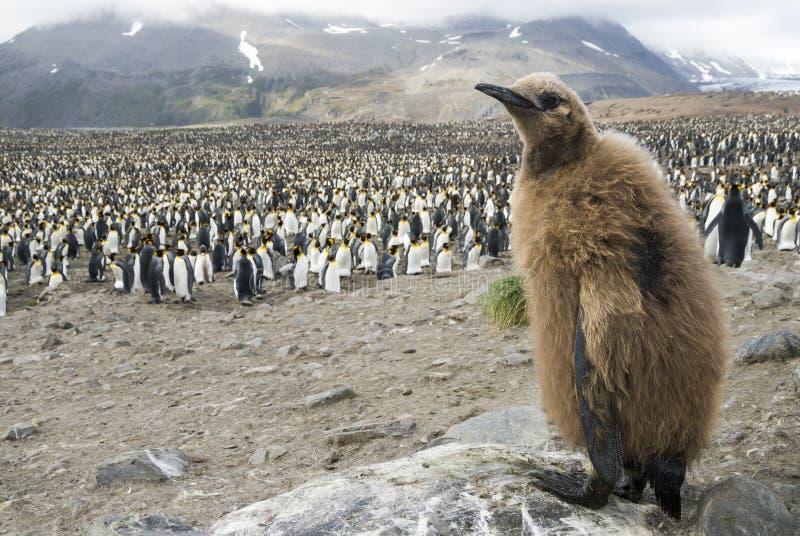 Polluelo mullido del pingüino de rey foto de archivo