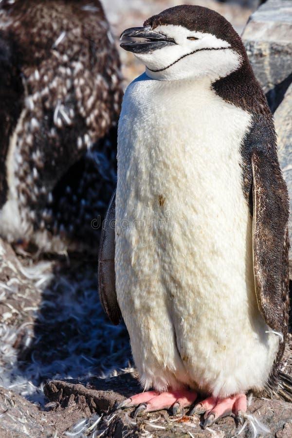 Polluelo peludo divertido del pingüino del gentoo que se coloca en frente con su flóculo foto de archivo