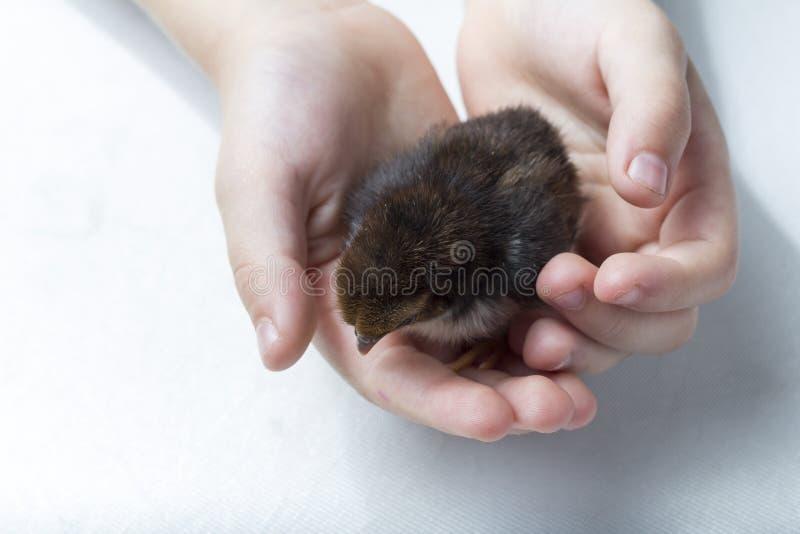 Polluelo pequeno en manos fotografía de archivo libre de regalías