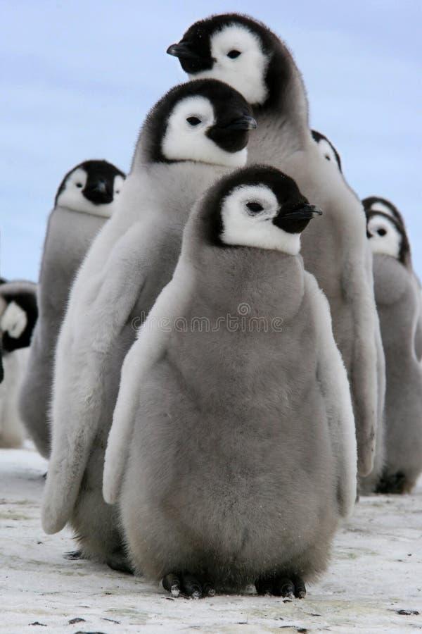 Polluelo (pingüino de emperador) imagenes de archivo