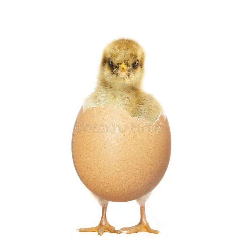 Polluelo que trama del huevo imagenes de archivo
