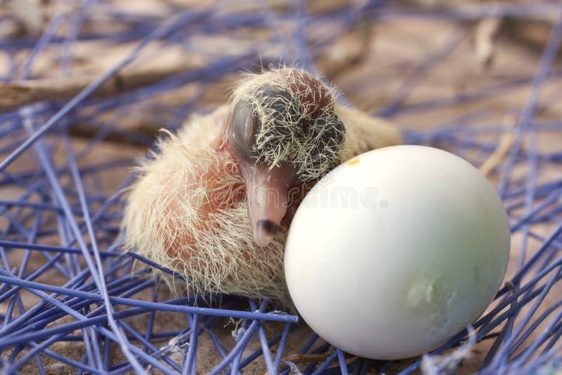 Polluelo recién nacido de la paloma con un huevo fotos de archivo