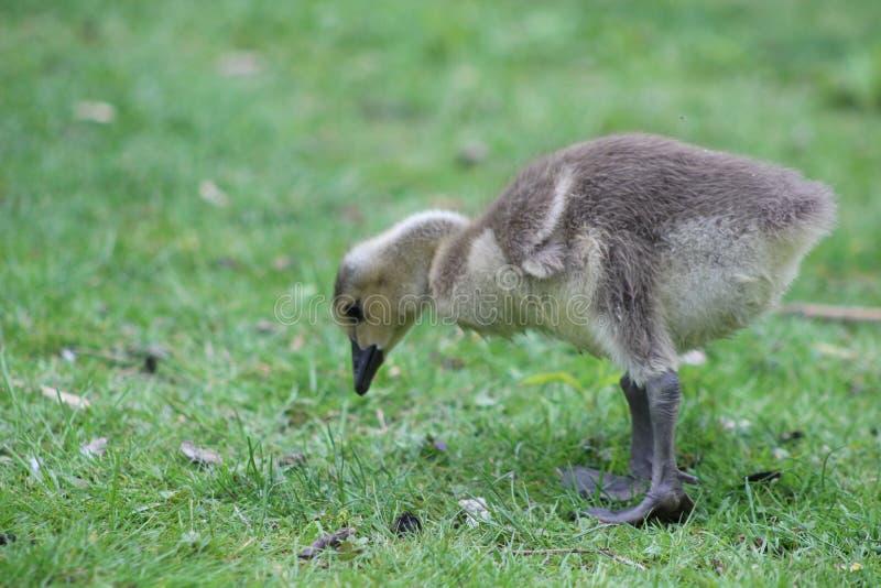 Polluelo recién nacido en un prado verde, Londres Ontario, Canadá del canadensis del Branta del ganso de Canadá imagen de archivo