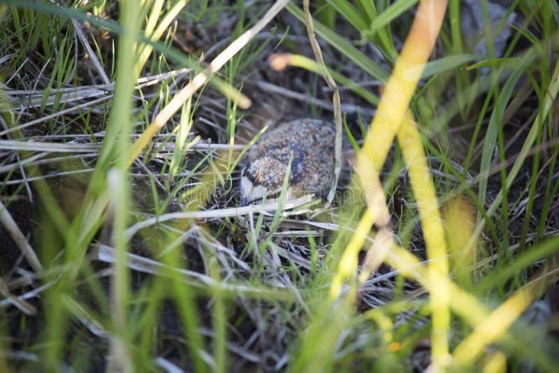 Polluelo salvaje del pájaro en la hierba imágenes de archivo libres de regalías