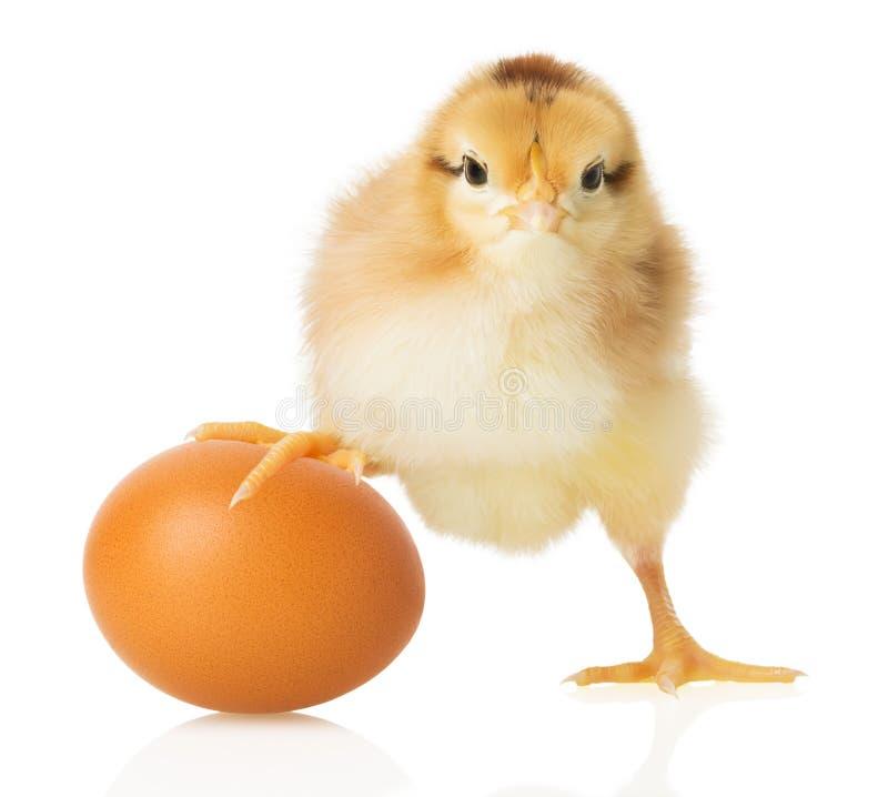 Polluelo y huevo en el fondo blanco foto de archivo libre de regalías