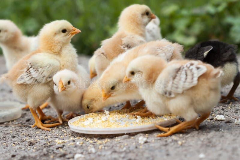 polluelos foto de archivo