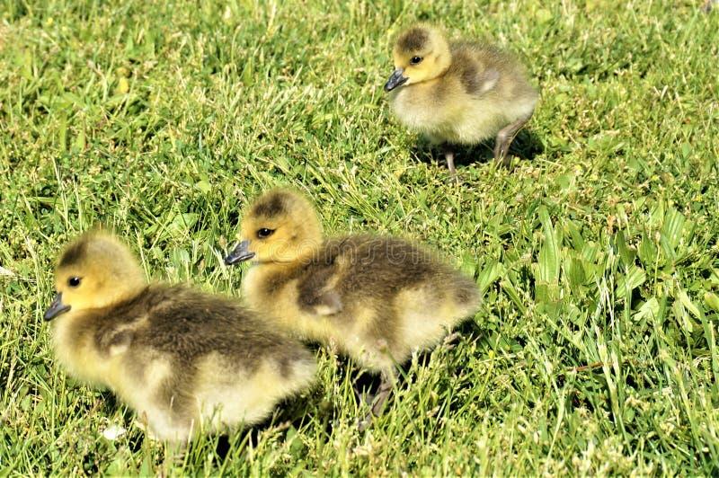 3 polluelos amarillos de ganso canadiense que caminan en la hierba verde imagenes de archivo