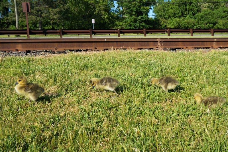 4 polluelos canadienses amarillos del ganso que caminan en la hierba a lo largo de las pistas de ferrocarril con los árboles verd fotos de archivo libres de regalías