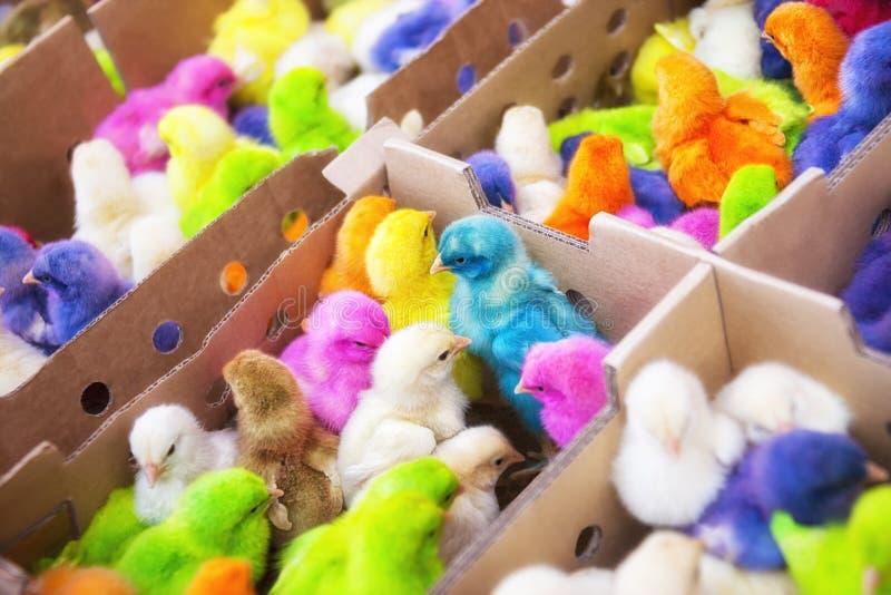 Polluelos coloridos divertidos de pascua. foto de archivo libre de regalías