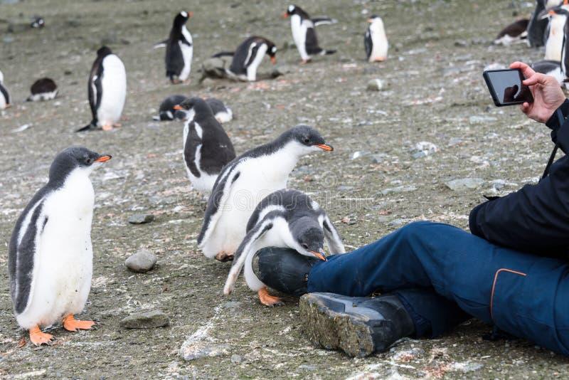 Polluelos curiosos con la mujer videoing en el teléfono elegante, Islas Shetland del sur, la Antártida del pingüino de Gentoo fotografía de archivo