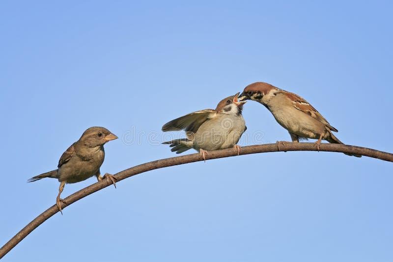 Polluelos de alimentación pájaro en la red vieja de la cerca fotos de archivo libres de regalías