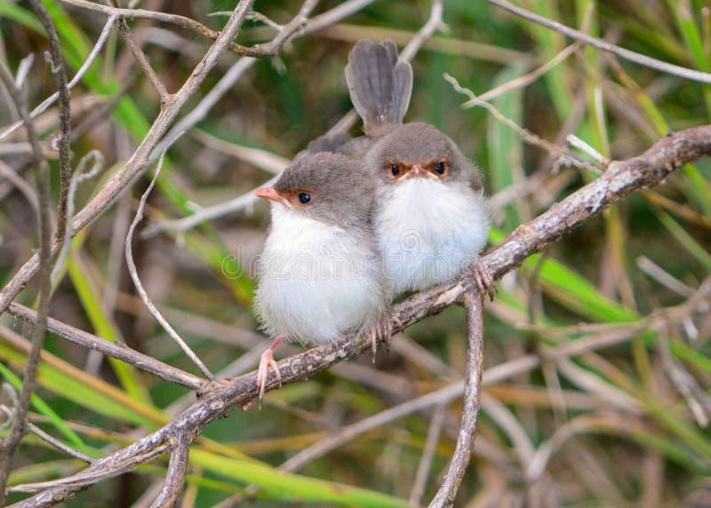 Polluelos de hadas magníficos del chochín fotografía de archivo libre de regalías