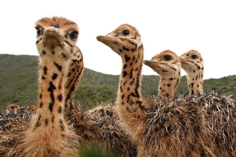 Polluelos de la avestruz fotografía de archivo