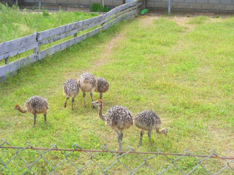 Polluelos de la avestruz en el grupo en granja, cultivo de la avestruz fotografía de archivo libre de regalías