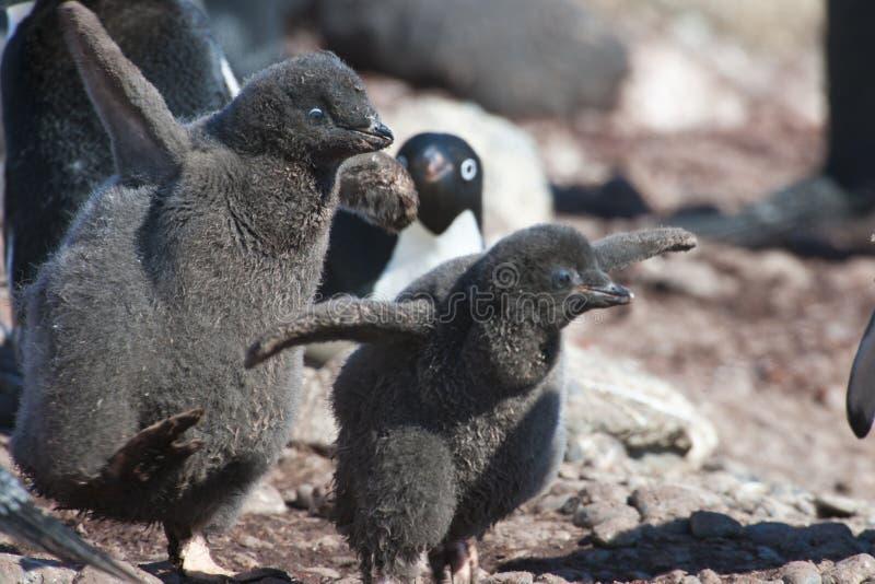 Polluelos de los pingüinos de Adelie imagen de archivo