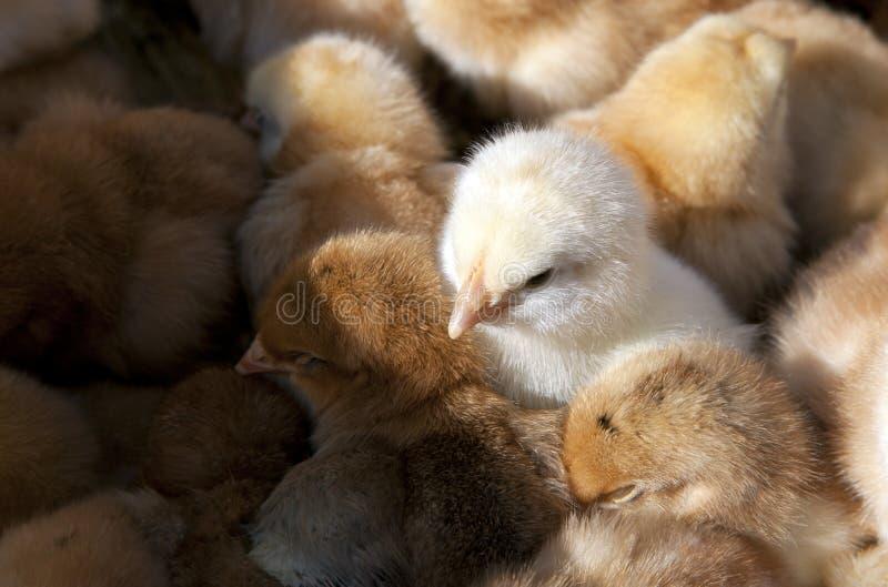 Polluelos del bebé foto de archivo