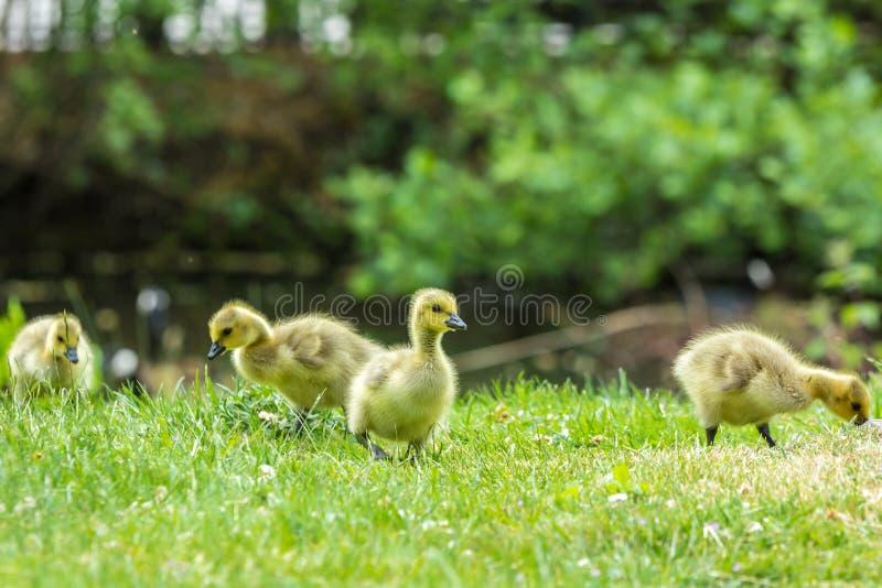 Polluelos del ganso de Canadá fotografía de archivo