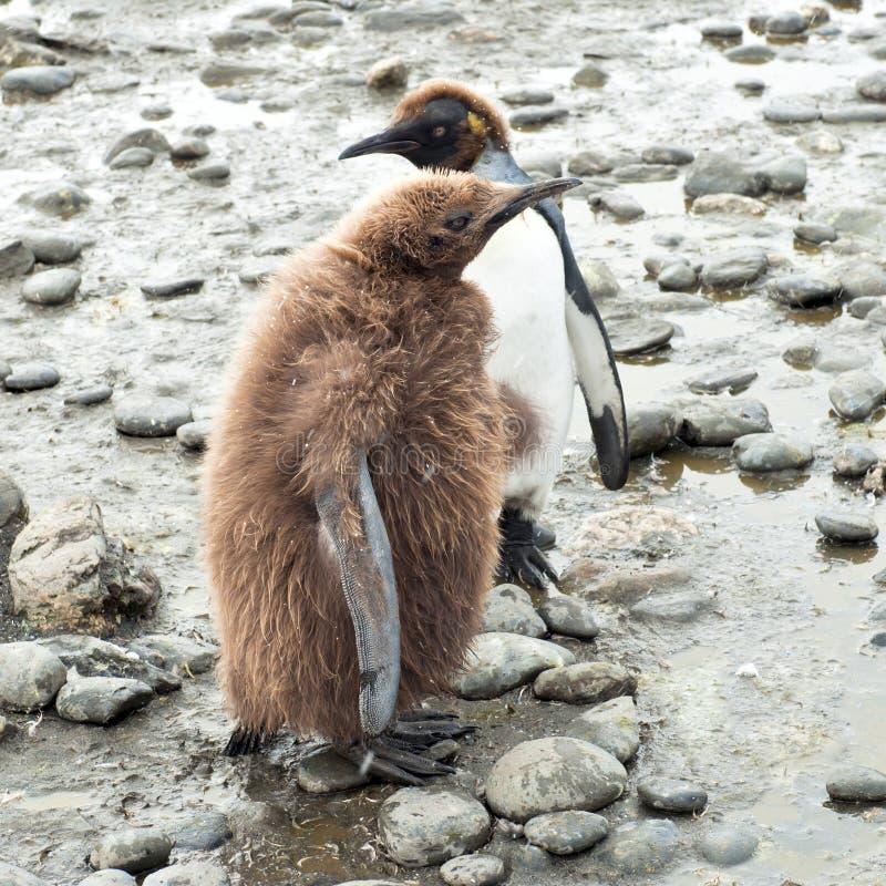 Polluelos del pingüino de Kng fotografía de archivo libre de regalías