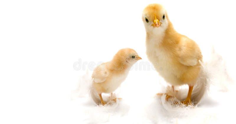 Polluelos jovenes imágenes de archivo libres de regalías