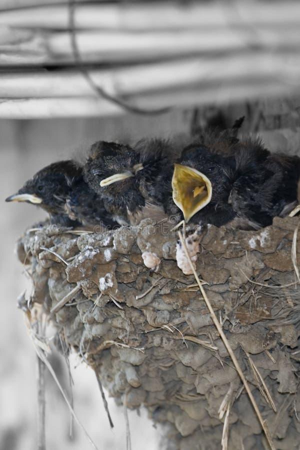 Polluelos jovenes en jerarquía fotos de archivo libres de regalías