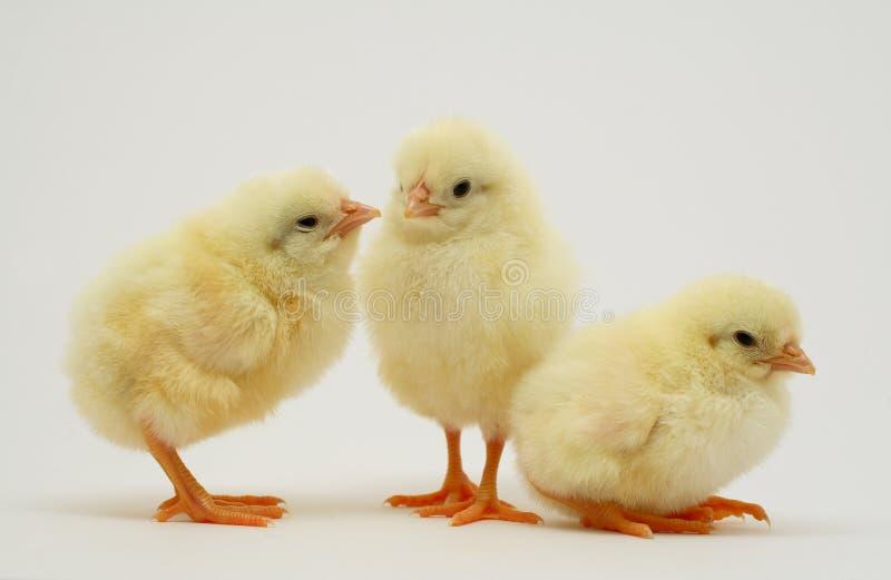 Polluelos recién nacidos foto de archivo libre de regalías