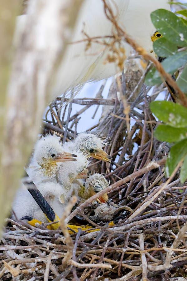Polluelos recién nacidos de la garceta nevada fotos de archivo