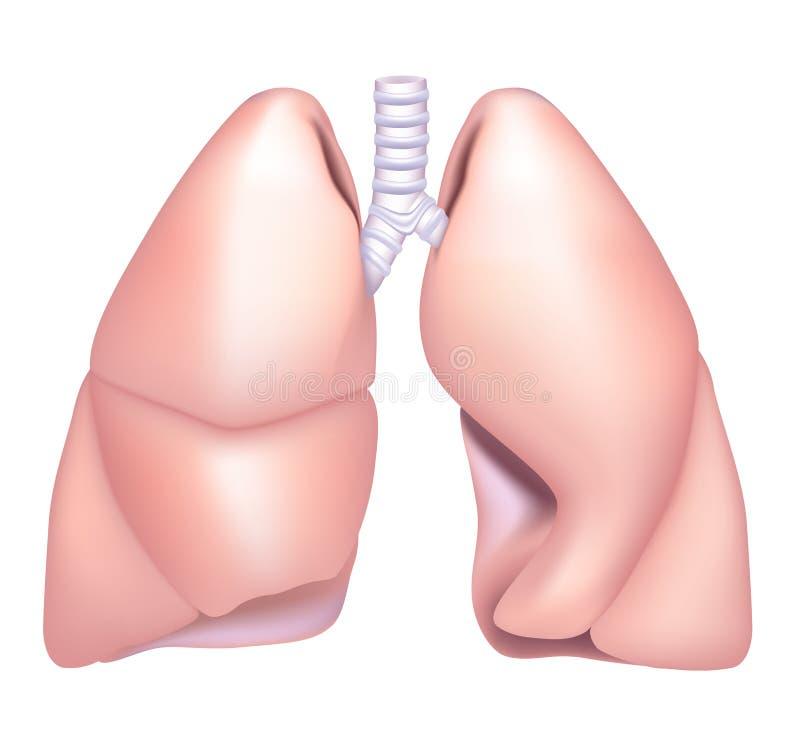 Polmone illustrazione vettoriale
