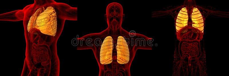Polmone umano fotografie stock