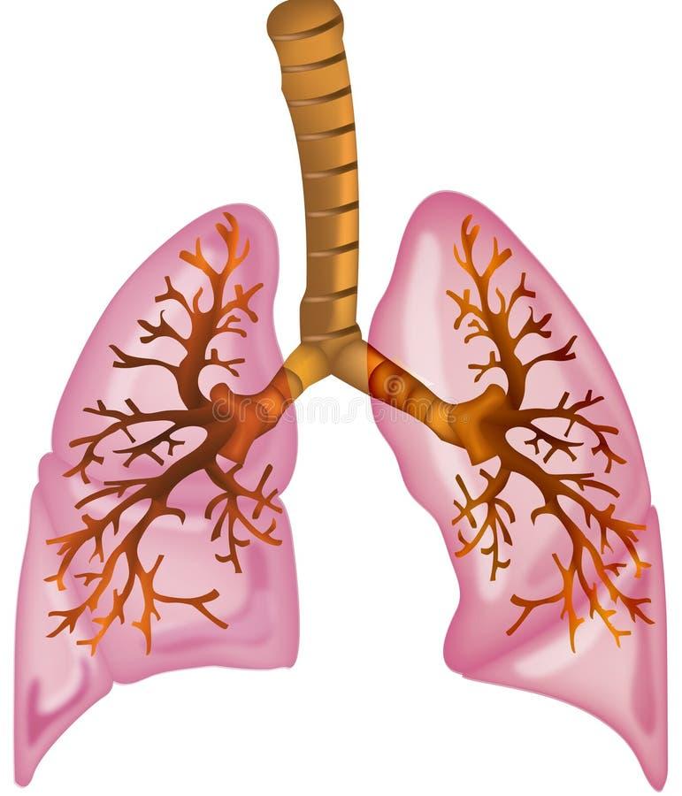 Polmoni illustrazione vettoriale