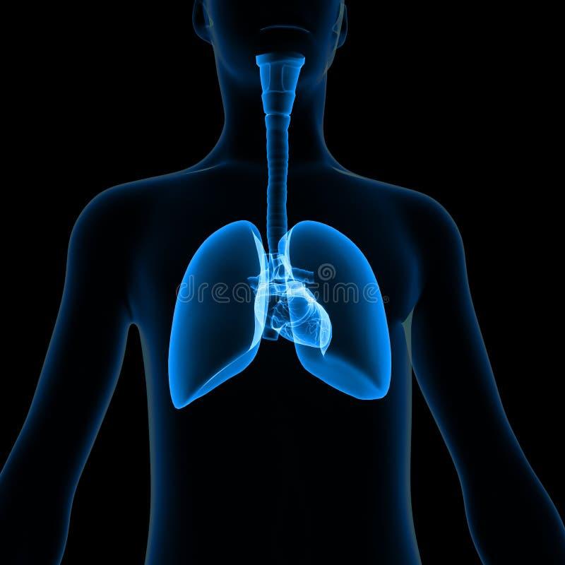 Polmoni con il corpo illustrazione di stock