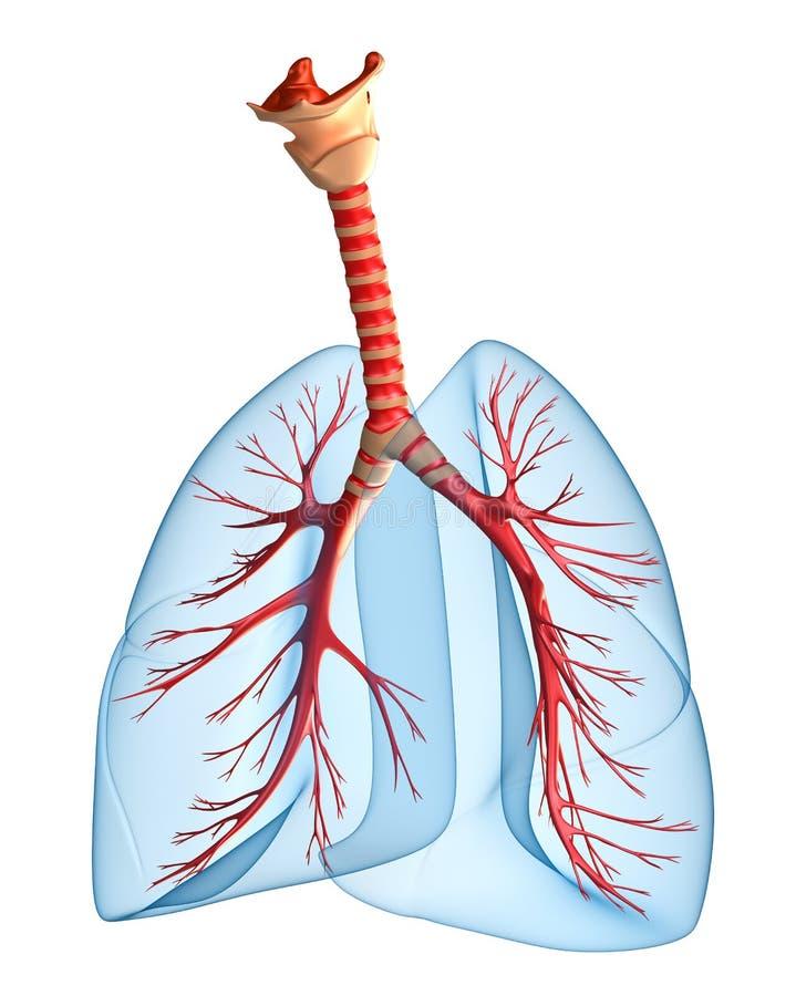 Polmoni - sistema polmonare illustrazione vettoriale