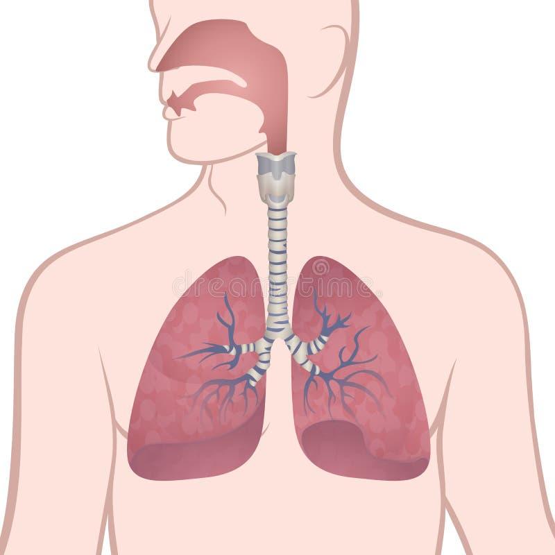 Polmoni, trachea e nasofaringe umani royalty illustrazione gratis