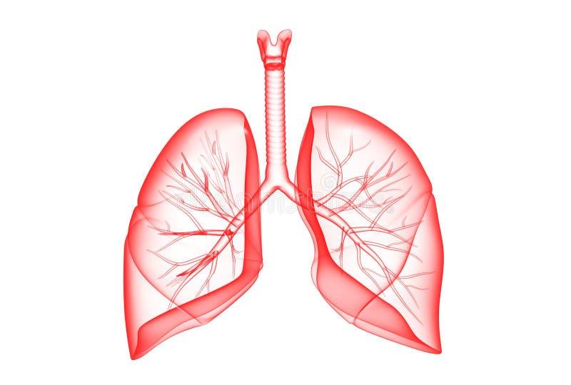 Polmoni umani illustrazione di stock