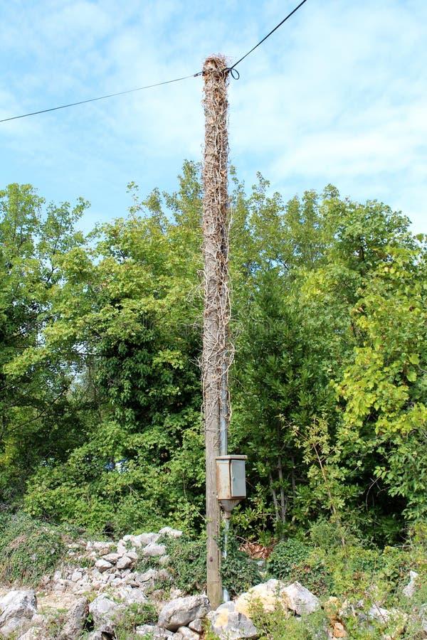 Polo de serviço público elétrico de madeira completamente coberto de vegetação com a planta seca da esteira rolante cercada com a fotos de stock