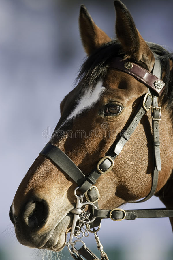 Polo horse head stock photos