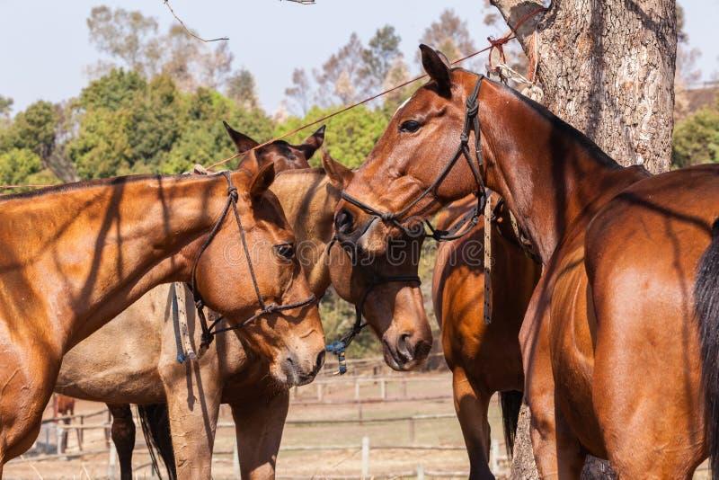 Polo Horse Ponies imágenes de archivo libres de regalías