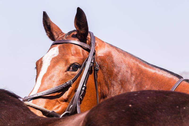 Polo Horse Pony Portrait fotografia de stock