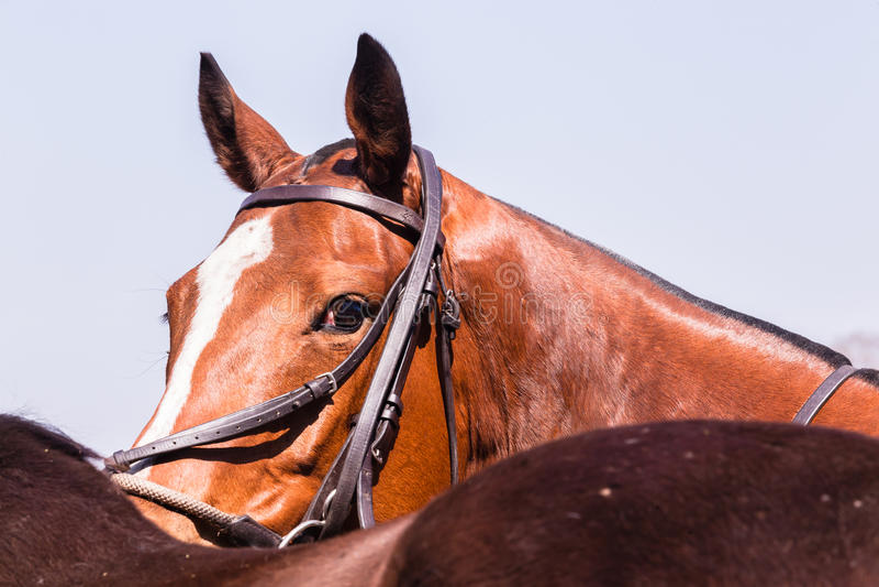 Polo Horse Pony Portrait stock photography
