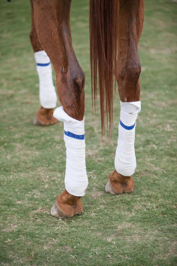 Polo horse legs with white protective sport boots stock photos