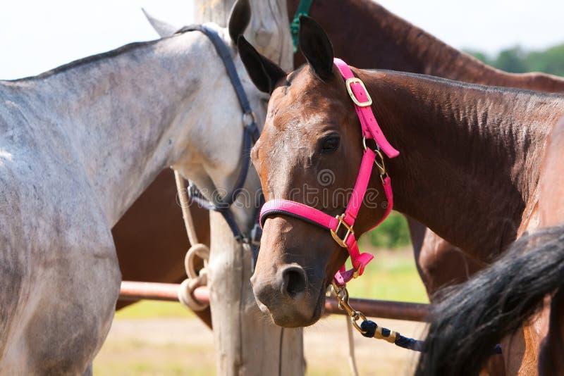 Polo Horses imagenes de archivo