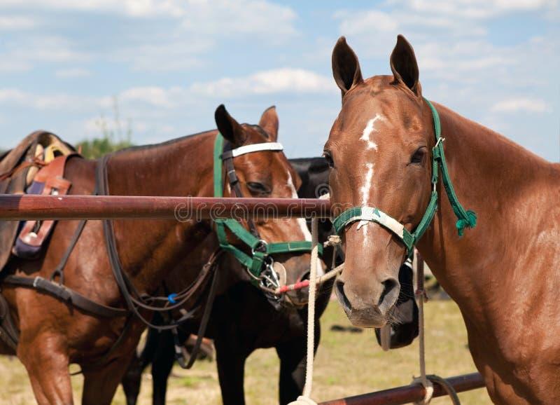 Polo Horses royalty free stock photo