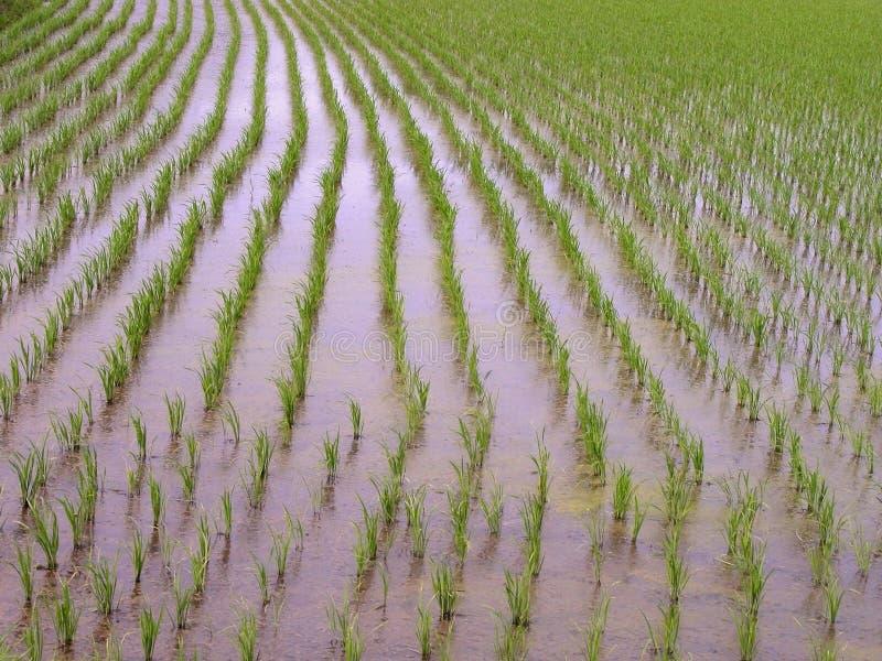 polowa konsystencja ryżu zdjęcia stock