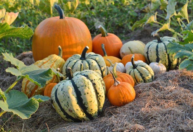 Polpas do outono no jardim imagens de stock