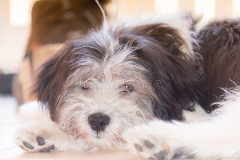 Polski Niżowy Sheepdog zdjęcia stock