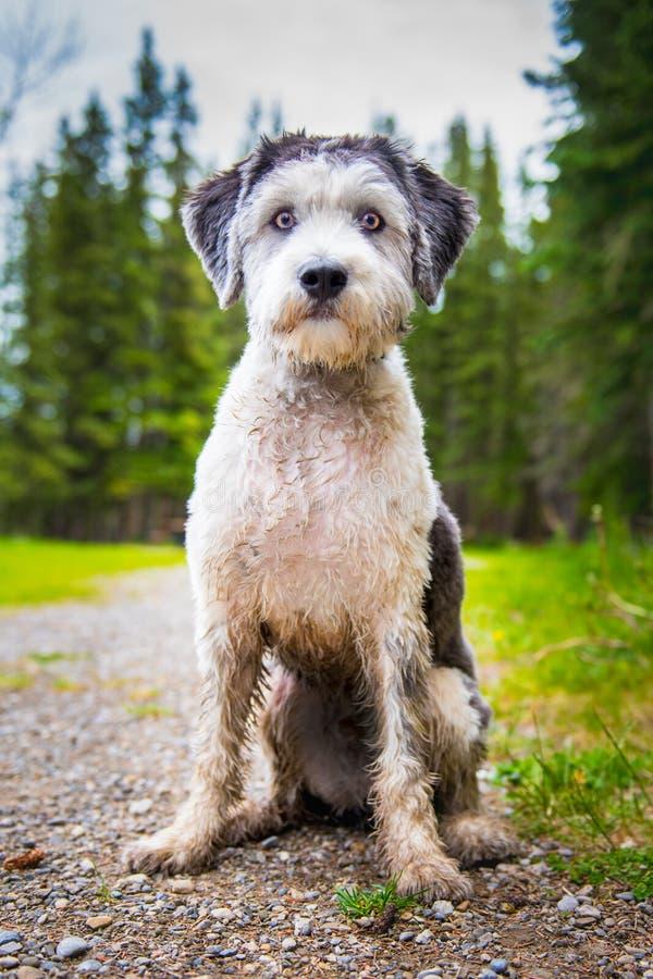 Polski Niżowy Sheepdog obraz royalty free