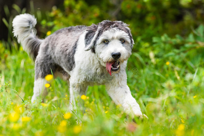Polski Niżowy Sheepdog obrazy royalty free