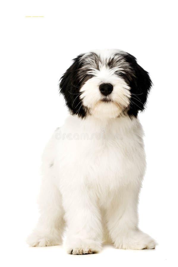 Polski Niżowy Sheepdog odizolowywający na białym tle obraz stock