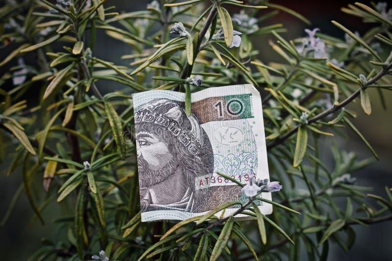 Polski pieniądze i rozmaryny fotografia stock