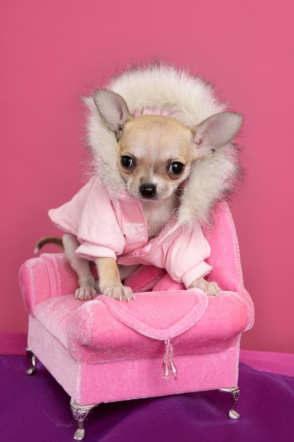 Poltrona da cor-de-rosa do estilo do barbie do cão da chihuahua da forma foto de stock royalty free